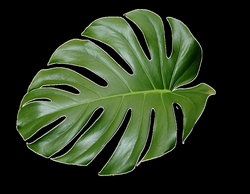 tropical leaf plant aesthetic ftestickers freetoedit...