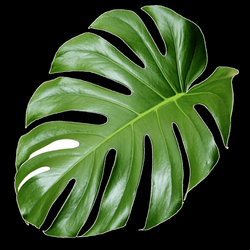 Plant Aesthetics - monstera 1181*1181 transprent Png Free Download ...