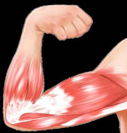 arm muscle pink png