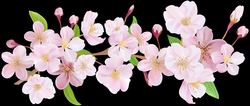 Cherry Blossom Spring Branch PNG Clip Art | pretty pictures i can ...