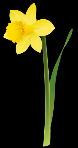 Spring Yellow Daffodil PNG Clipart | Gallery Yopriceville - High ...