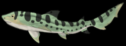 Leopard Shark Custom by CF-Adopts on DeviantArt