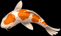 White and Orange Koi Fish Transparent Clip Art PNG Image | Gallery ...