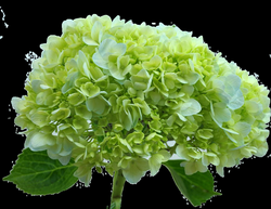 hydrangea transparent green