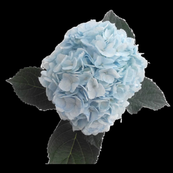hydrangea transparent light blue