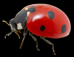 ladybug png - Free PNG Images | TOPpng
