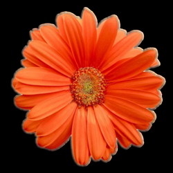 Orange flower png #17942 - Free Icons and PNG Backgrounds
