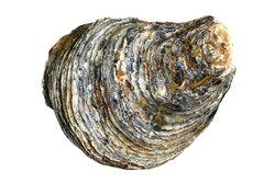 oyster clipart fossil shell