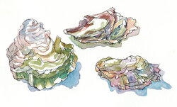 oyster clipart watercolor