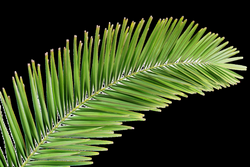 Image result for palm frond transparent png | Tattoo | Pinterest ...