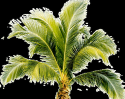 Palm Tree Transparent PNG Pictures - Free Icons and PNG Backgrounds
