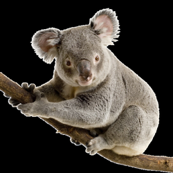 Transparent Koala Background Picture 2469597 Transparent Koala
