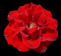 Rose Flower PNG Image - PurePNG | Free transparent CC0 PNG Image Library