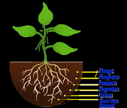roots clipart plant nutrient