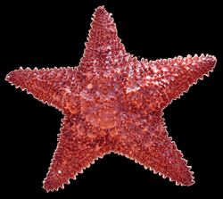 starfish png - Free PNG Images   TOPpng