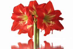 40+ Types of Red Flowers with Pictures | FlowerGlossary.com