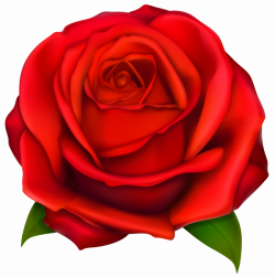 Transparent Red Rose PNG Clipart | Gallery Yopriceville - High ...