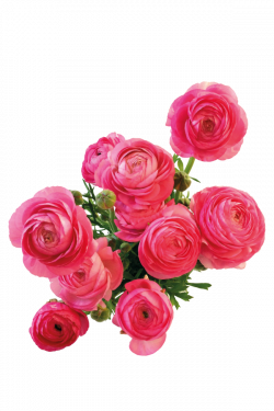 Flower Photography Android - Chinese rose 3000*4500 transprent Png ...