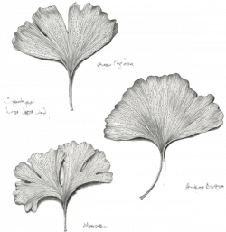 Im a little crazy for ginkgo leaves | Contrast | Leaves, Drawings ...