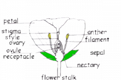 day 2: structures of plants - sarah marbury  floral diagram - wikipedia
