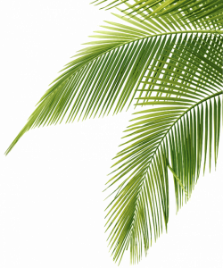 Palm tree leaf png #43080 - Free Icons and PNG Backgrounds