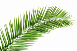Palm Tree Png transparent images free donwload.