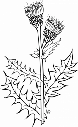 Weed Coloring book Thistle Drawing Cirsium vulgare free commercial ...